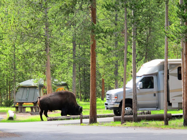 A bison strolls through Madison Campground. Yellowstone National Park. Lassoing the Sun: A Year in America's National Parks
