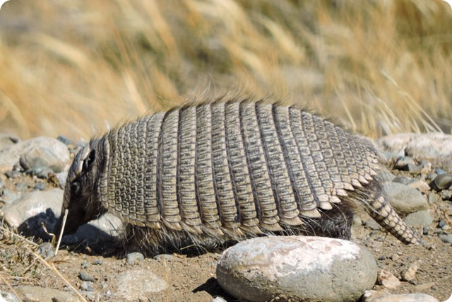 Peludo-Chaetophractus-villosus