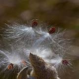 Milkweed-seeds_MG_0770-copy.jpg