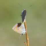 Couple de Polyommatus icarus icarus (ROTTEMBURG, 1775), femelle en-dessous. Les Hautes-Lisières (Rouvres, 28), 8 septembre 2012. Photo : J.-M. Gayman