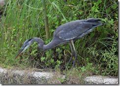 Heron feeding 2 of 5