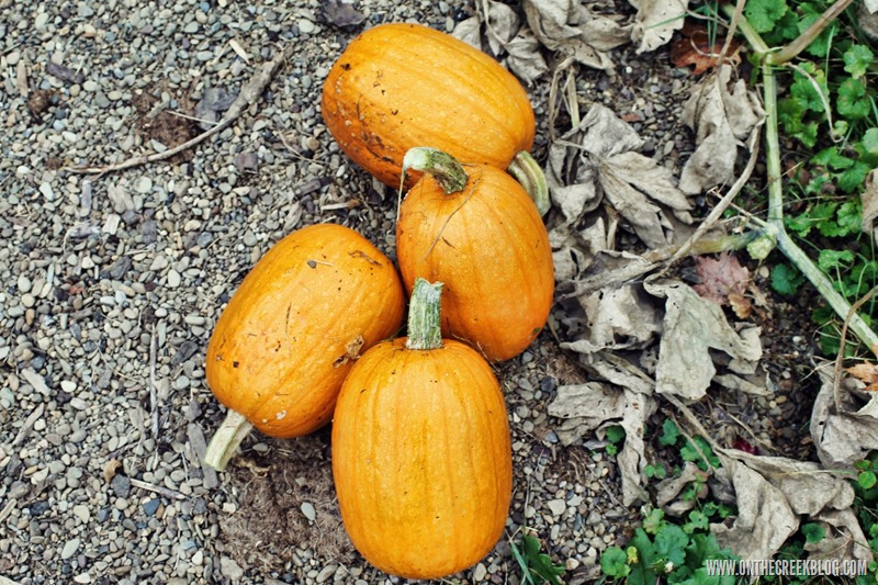 Pumpkin Patch Harvest