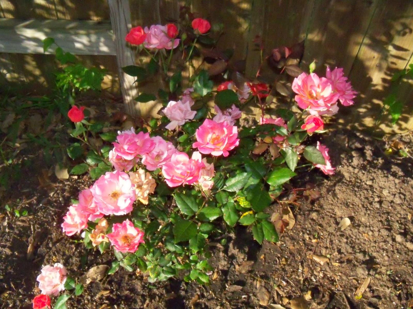 Gardening 2015 - 116_7632.JPG