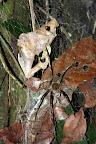 Huge Spider in Reserve Zone (Manu National Park, Peru)