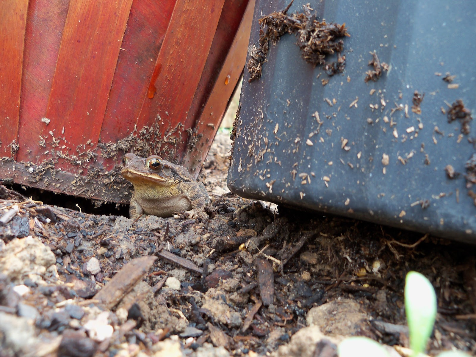Gardening 2010 - 101_1047.JPG