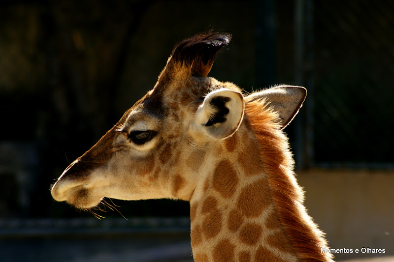 Jardim Zoológico, Lisboa, Girafa