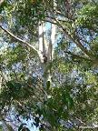 Wer findet den Koala?