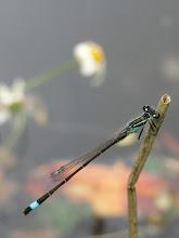 Photo: Blue-tailed Damselfly (Ischnura elegans), male