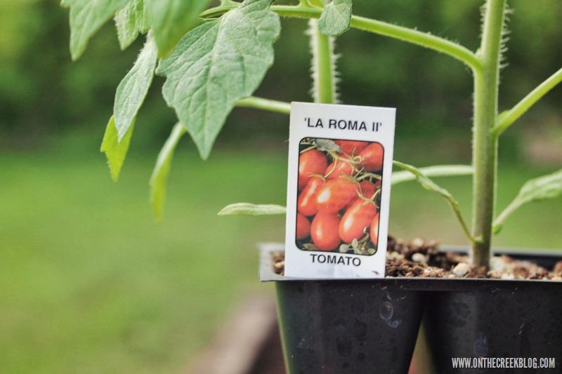 tomato plant la roma