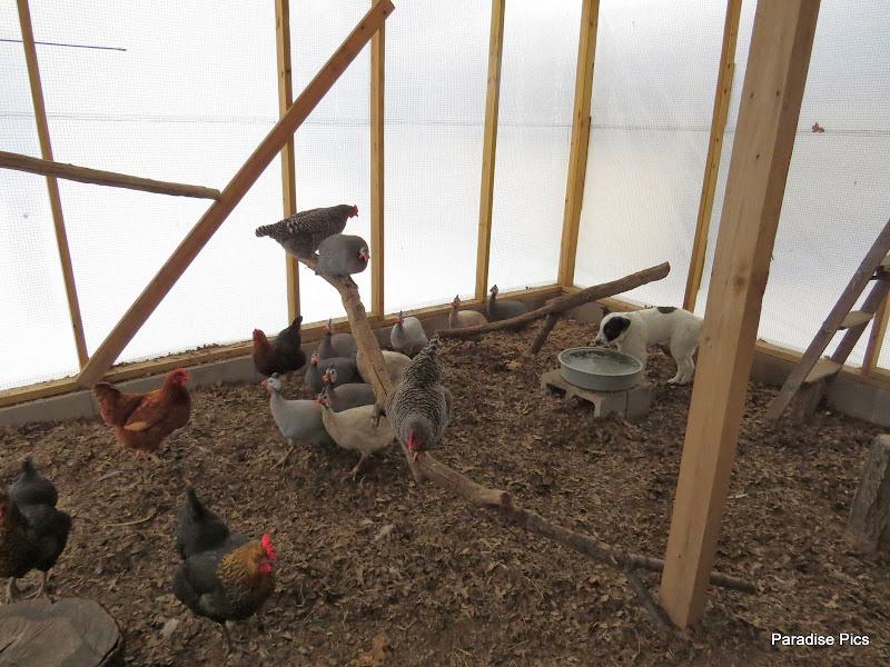 ChickensGuineas.JPG