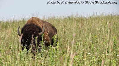 Bison in the tallgrass prairie