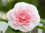 桃色 白覆輪 千重咲き 大輪
