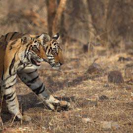 by Kedar Banerjee - Novices Only Wildlife ( stripes, national forest, tiger, india, wildlife )