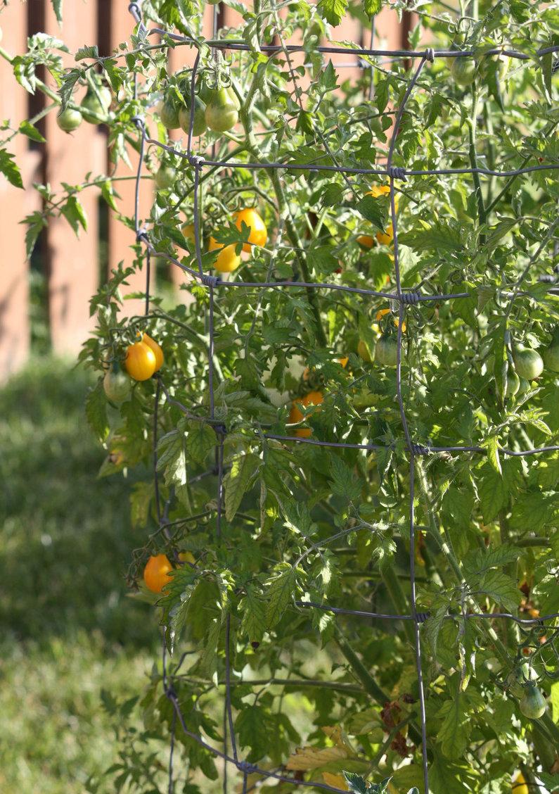 Cà chua bi hình trái lê gây sốt tại Việt Nam - 55c961cc20825
