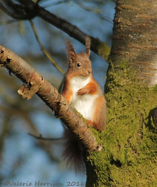 12-red-squirrel