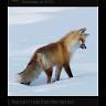 Foxy123