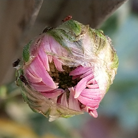 Flower bud by Vivek Sharma - Instagram & Mobile Android ( vivekclix, flower photography, pink, nature, flower bud, pink flower, flower )