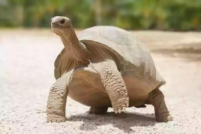 extinct in 2021-tortoise