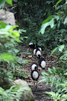 Human-Like Birds at Cocha Otorongo in Reserve Zone (Manu National Park, Peru)