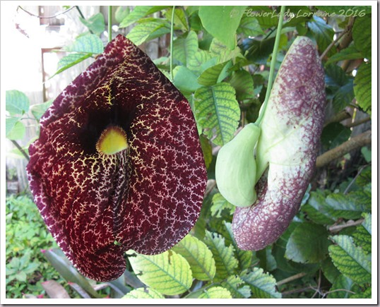 07-14-dutchmans-pipe-blooms