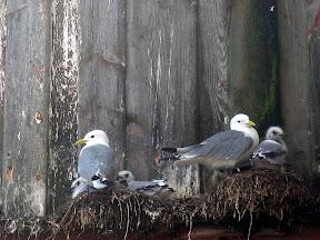 Måkefuglen krykkje, med unger. (Bilde tatt på Vevang, like ved Atlanterhavsveien på Nordmøre.)