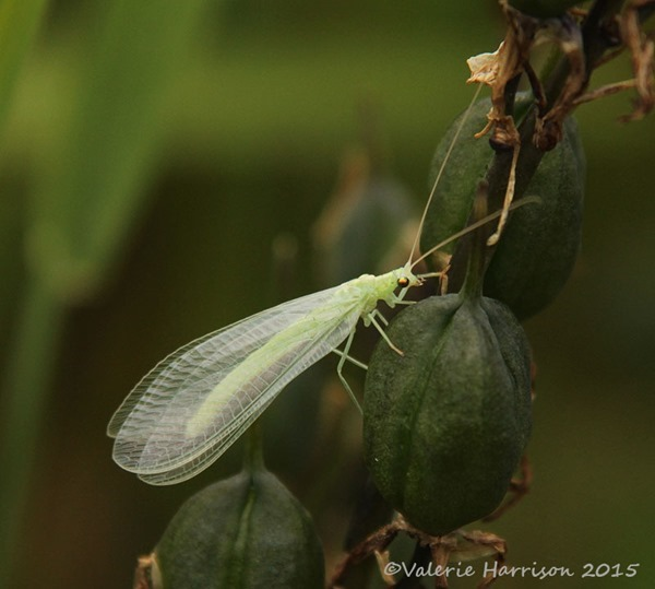 Lacewing-2