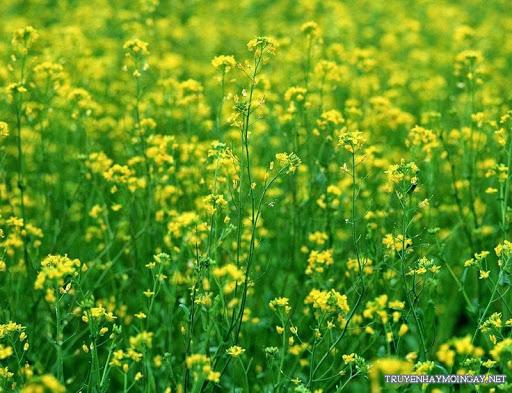 Ngắm Những Cánh Đồng Hoa Cải Vàng Rực Rỡ Trong Nắng