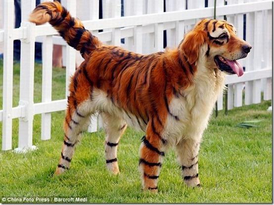 peros como oso pandas y tigres (4)
