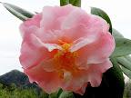 淡桃色ぼかし 弁端が濃い 八重咲き 中輪