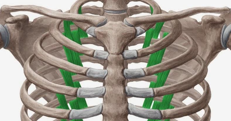 肋骨下肌 Subcostales Muscle 小小整理網站 Smallcollation