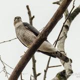 Ястреб-перепелятник (Accipiter nisus)