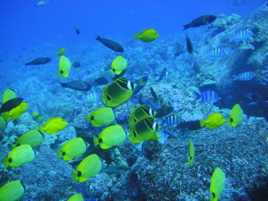 ハワイ島の黄色い魚