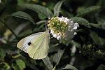 Stor kålsommerfugl på hvid sommerfuglebusk2.jpg