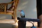 """Inden vi overhovedet når ind på værelset, har vi set turens første flotte dyr - en """"kingfisher""""."""