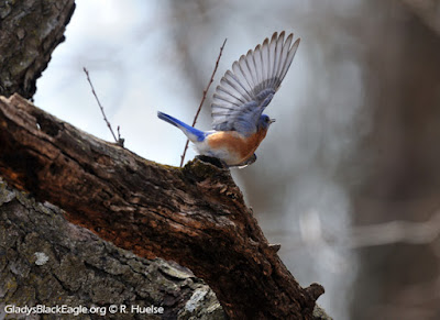 "Male bluebird puts on a ""wing courting"" show to attract a female."