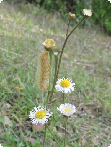 Hampton Tract - Caterpillar (4)