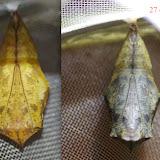 Chrysalide de Caligo oileus oileus C. Felder & R. Felder, 1861. Paris, le 6 et le 27 décembre 2015 (veille de l'émergence). Photo : J.-M. Gayman
