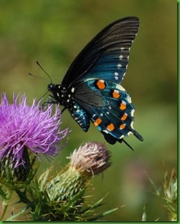 Pipevine_Swallowtail