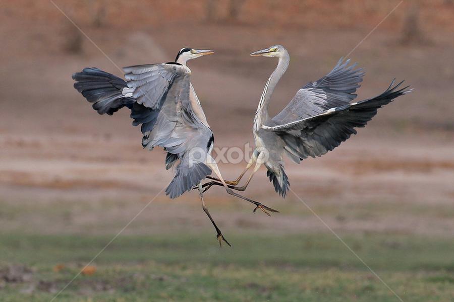 Grey Heron Fight by Neal Cooper - Animals Birds ( grey herons )