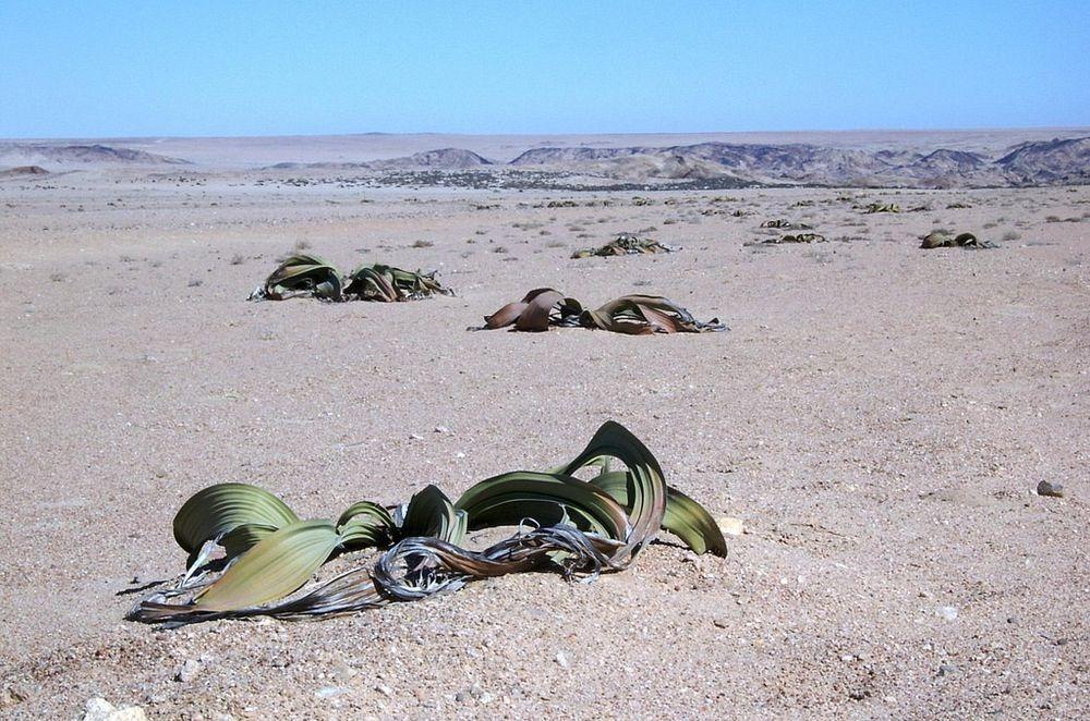 welwitschia-mirablilis-8