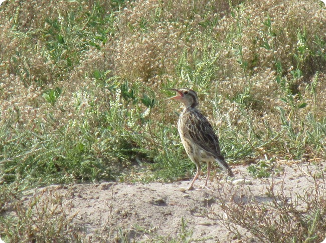 IMG_1075 Immature Meadowlark Bird