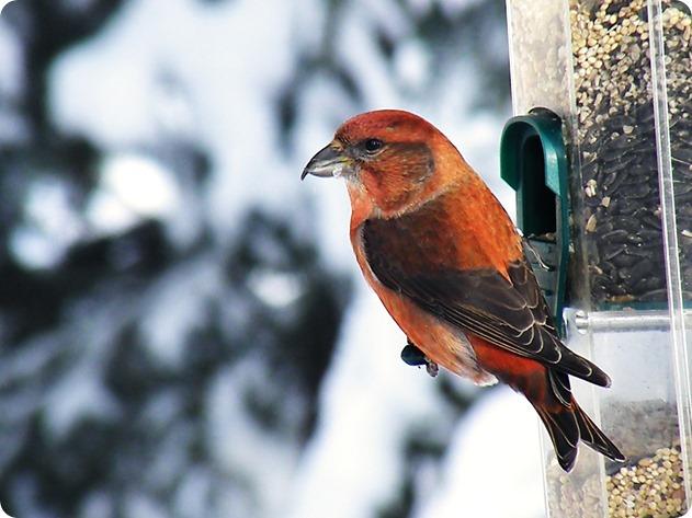 male-red-crossbill-1