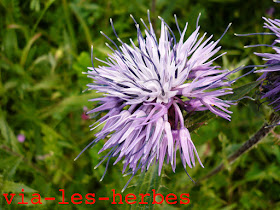 Carthame bleu, Cardencelles caeruleus 2.jpg