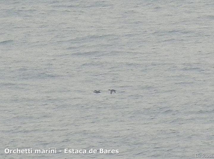 Orchetti marini - Estaca de Bares