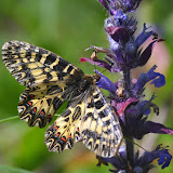 Zerynthia cassandra (GEYER, 1828), femelle sur brunelles (Prunella sp., famille des Lamiaceae). Parco Naturale Monti Livornesi (Toscane), 11 avril 2014. Photo : L. Voisin