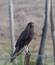 Brown Falcon, a fantastic predatory bird