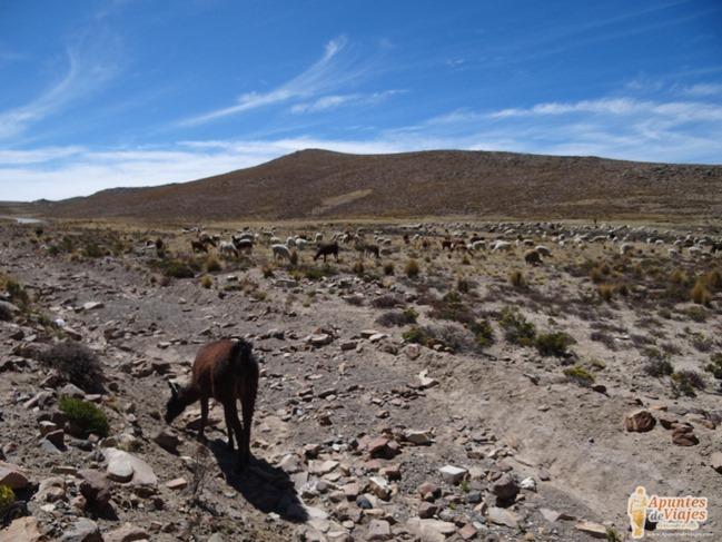 Vicuñas Volcanes Arequipa Chivay Perú 22