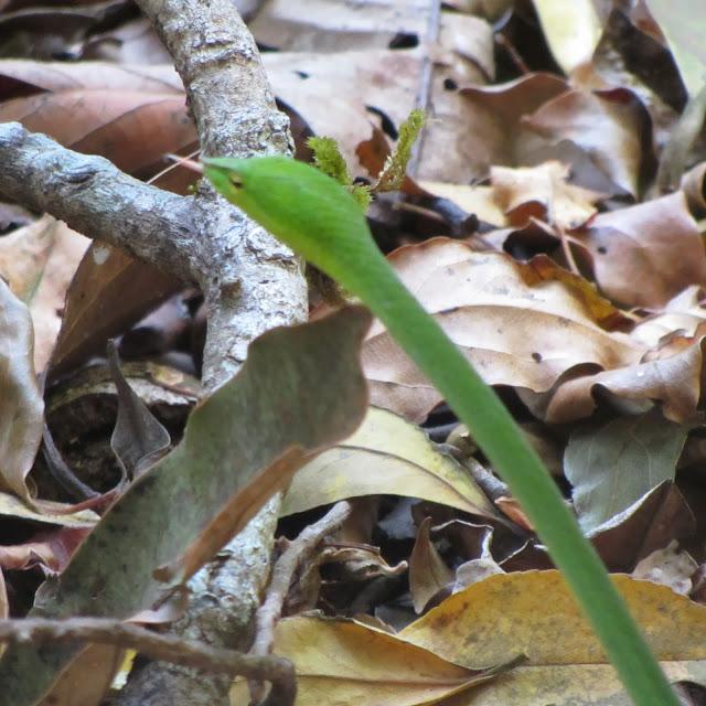 Snake, Thirunelly (Wayanad), India