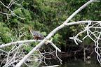 Prehistoric Bird in Reserve Zone (Manu National Park, Peru)
