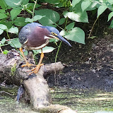 green-heron_MG_8152-copy.jpg